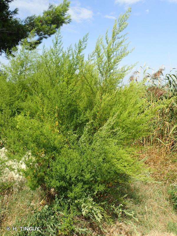 Artemisia annua L., 1753 © H. TINGUY