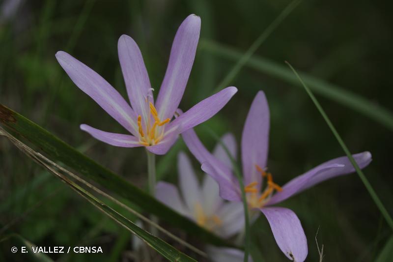 Colchicum autumnale L., 1753 © E. VALLEZ / CBNSA