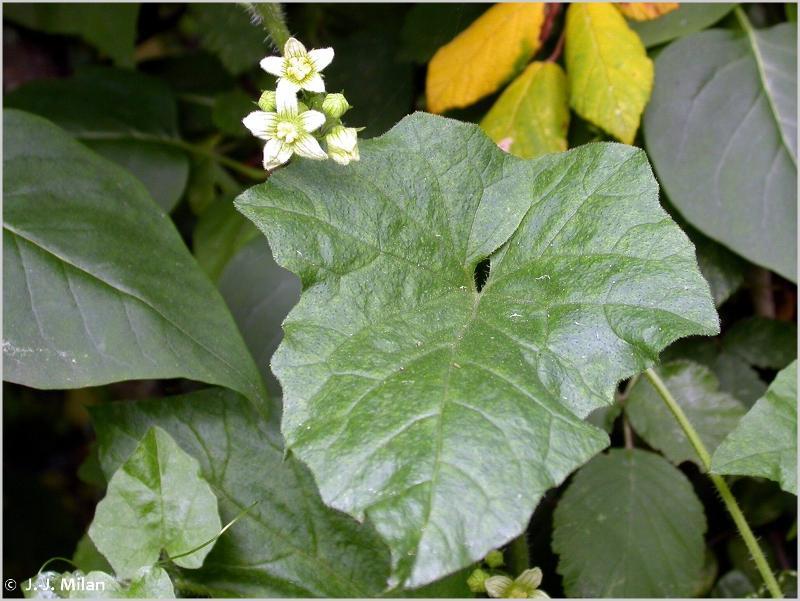Bryonia cretica subsp. dioica (Jacq.) Tutin, 1968 ©