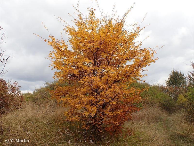 Acer campestre L., 1753 ©