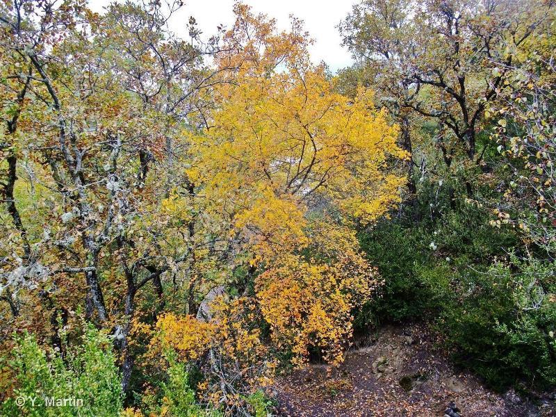 Acer monspessulanum L., 1753 ©