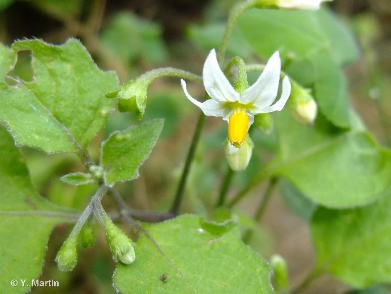 Solanum nigrum L., 1753 ©