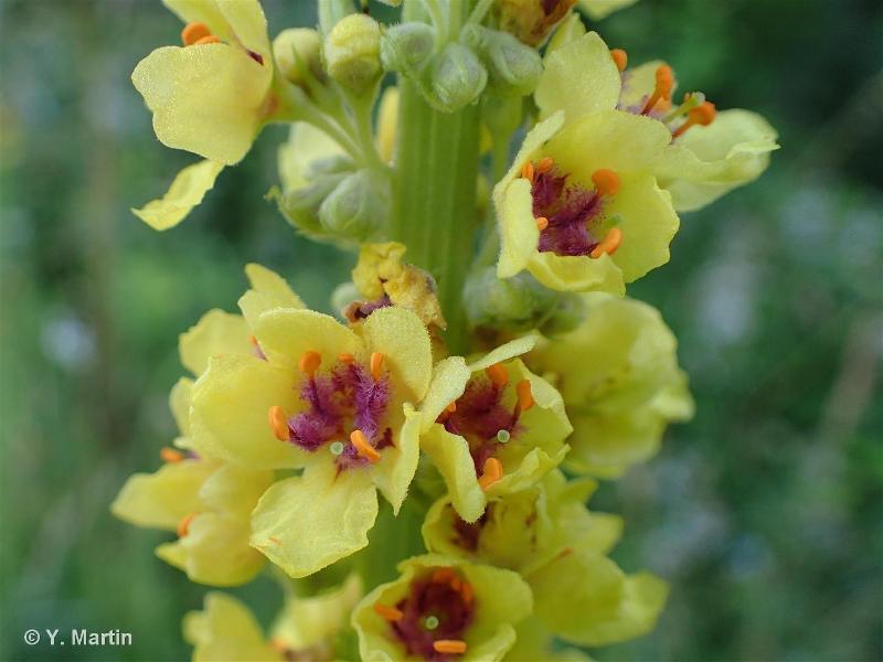 Verbascum nigrum L., 1753 ©