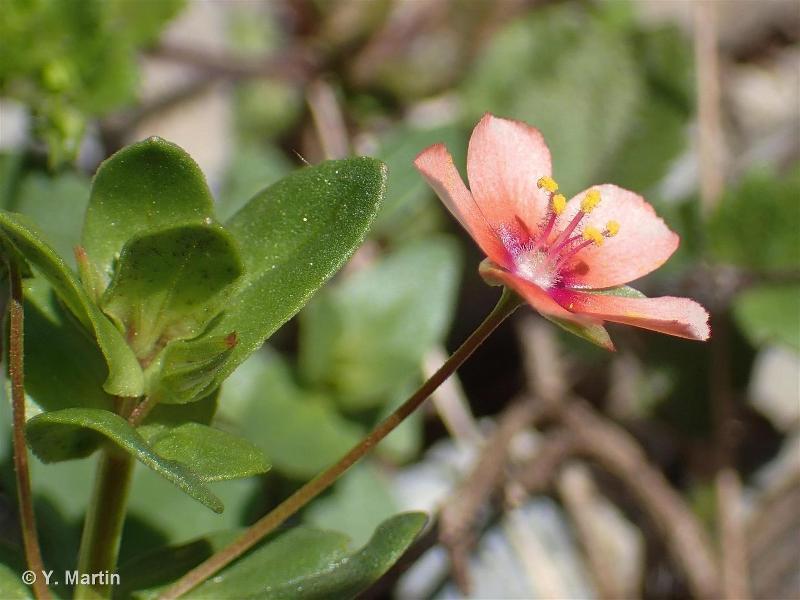 Lysimachia arvensis subsp. arvensis (L.) U.Manns & Anderb., 2009 ©