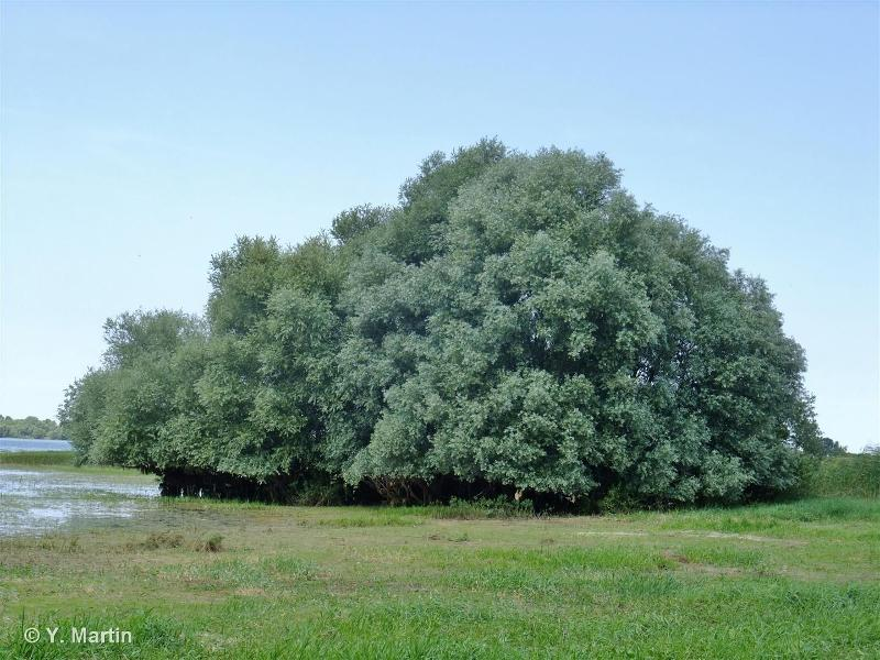 Salix alba L., 1753 ©
