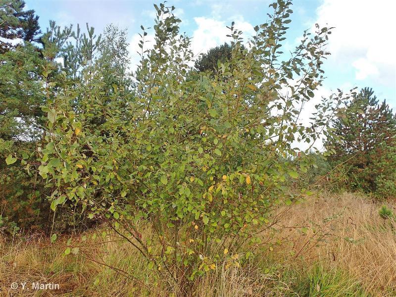 Salix caprea L., 1753 ©