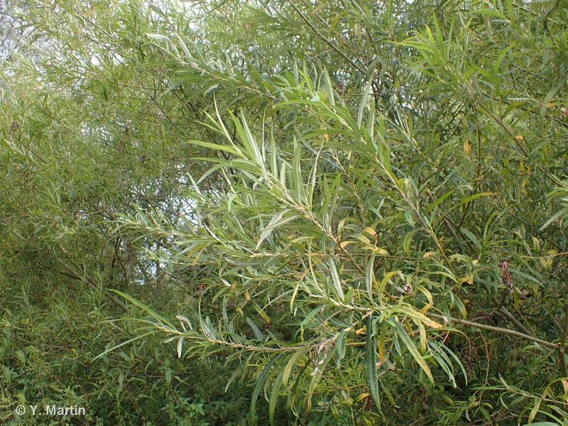 Salix viminalis L., 1753 ©