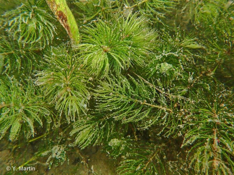 Ceratophyllum demersum L., 1753 ©