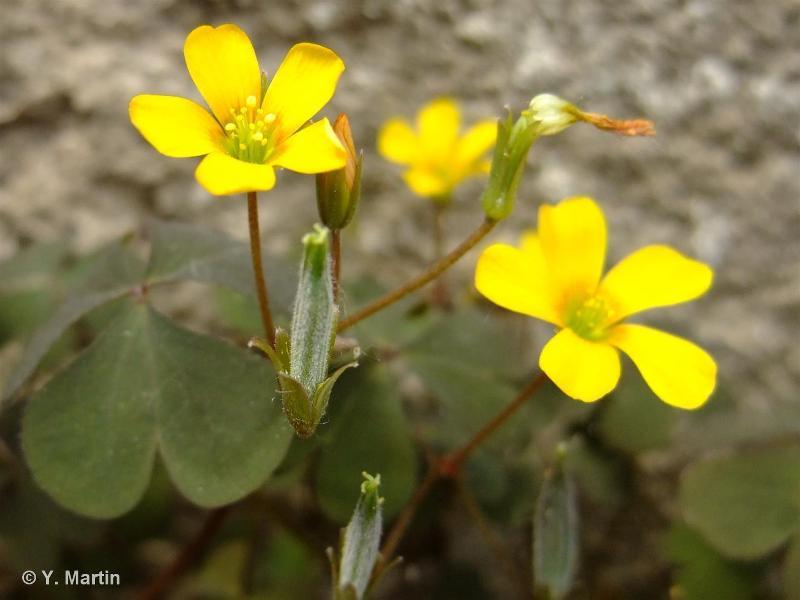 Oxalis corniculata L., 1753 ©