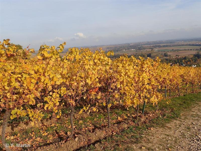 Vitis vinifera L., 1753 ©