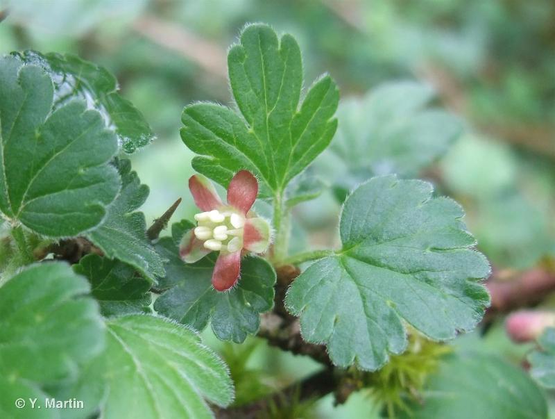 Ribes uva-crispa L., 1753 ©