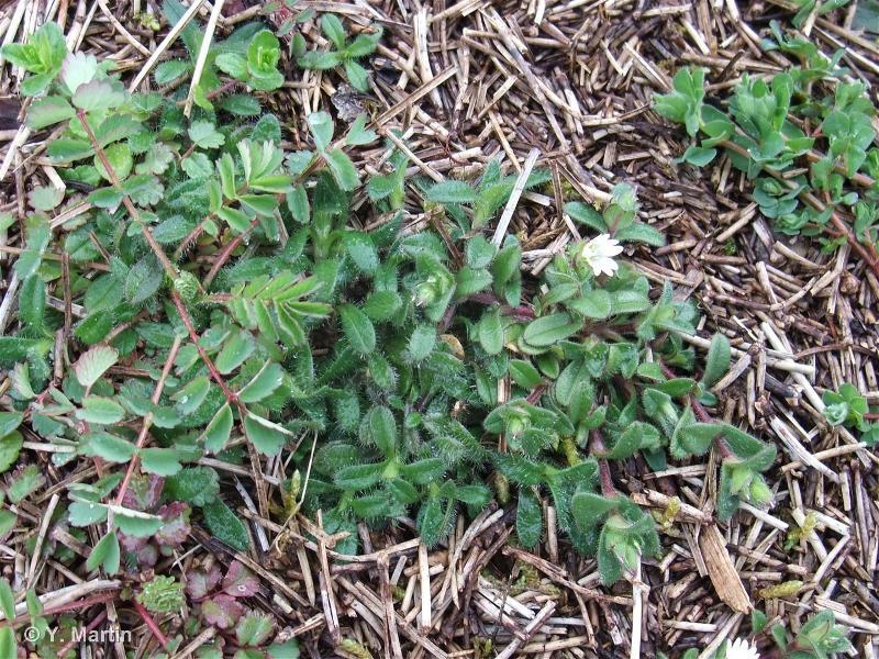 Cerastium pumilum Curtis, 1777 ©