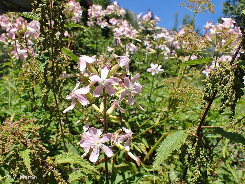 Saponaria officinalis L., 1753 ©