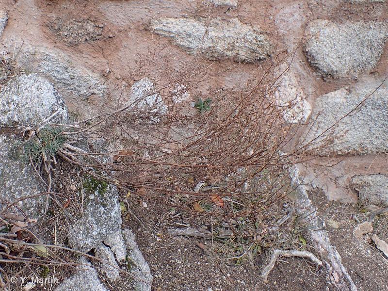 Artemisia campestris subsp. campestris L., 1753 ©