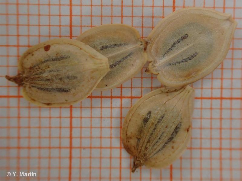 Heracleum sphondylium subsp. sphondylium L., 1753 ©