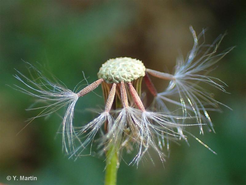 Senecio vulgaris subsp. vulgaris L., 1753 ©