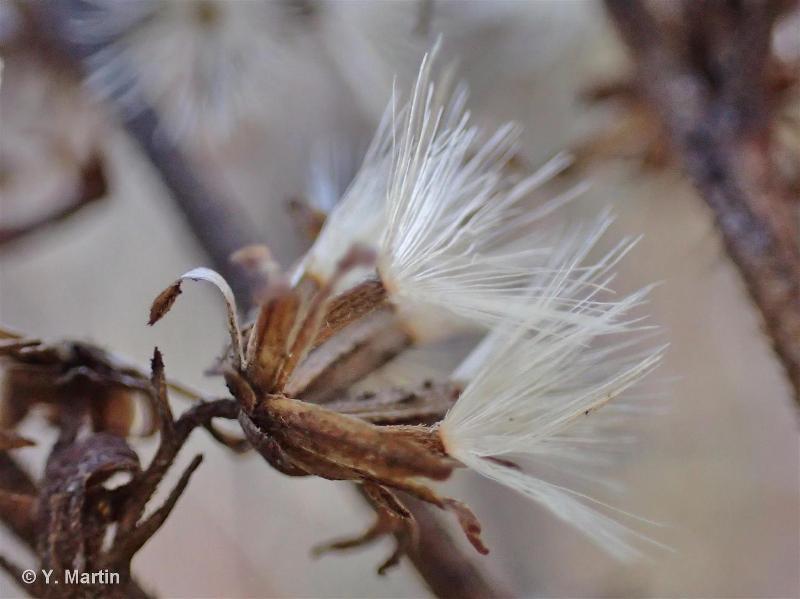 Solidago virgaurea subsp. virgaurea L., 1753 ©