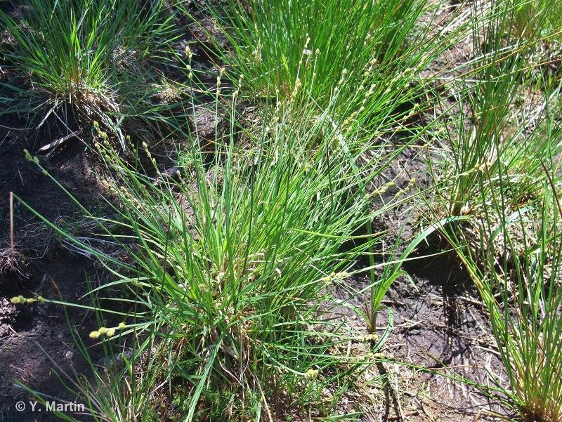 Carex canescens L., 1753 ©