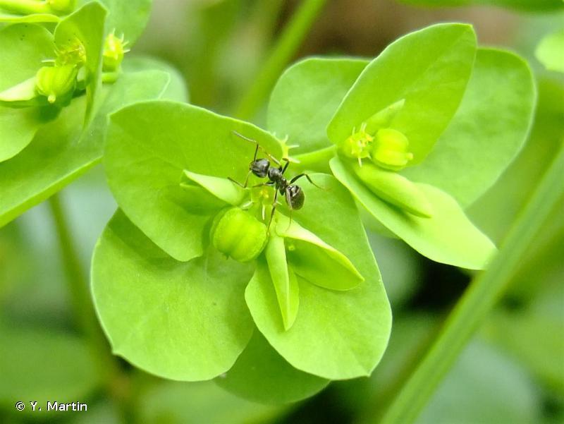 Euphorbia peplus L., 1753 © Y. Martin