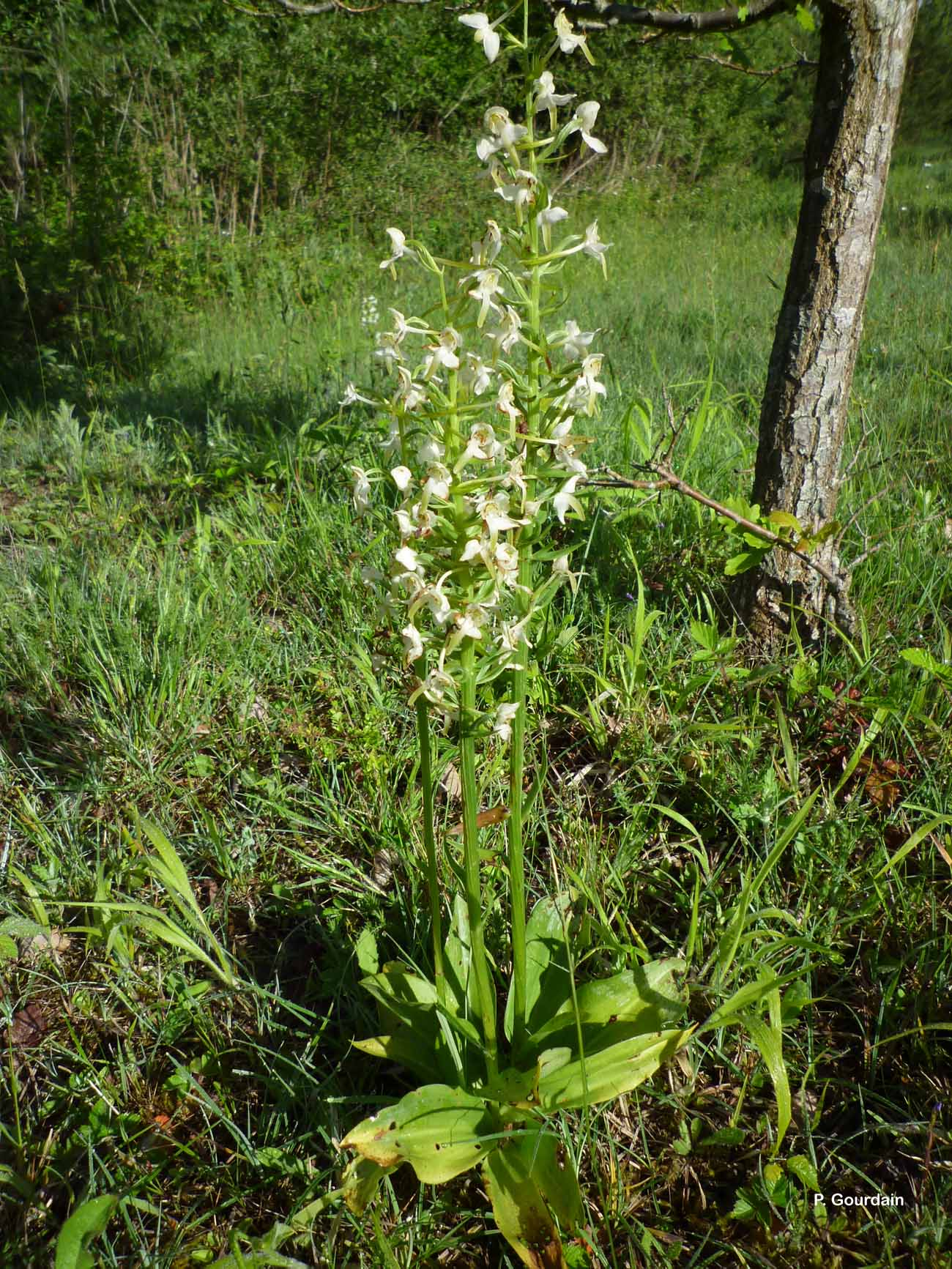 Platanthera chlorantha (Custer) Rchb., 1828 © P. Gourdain