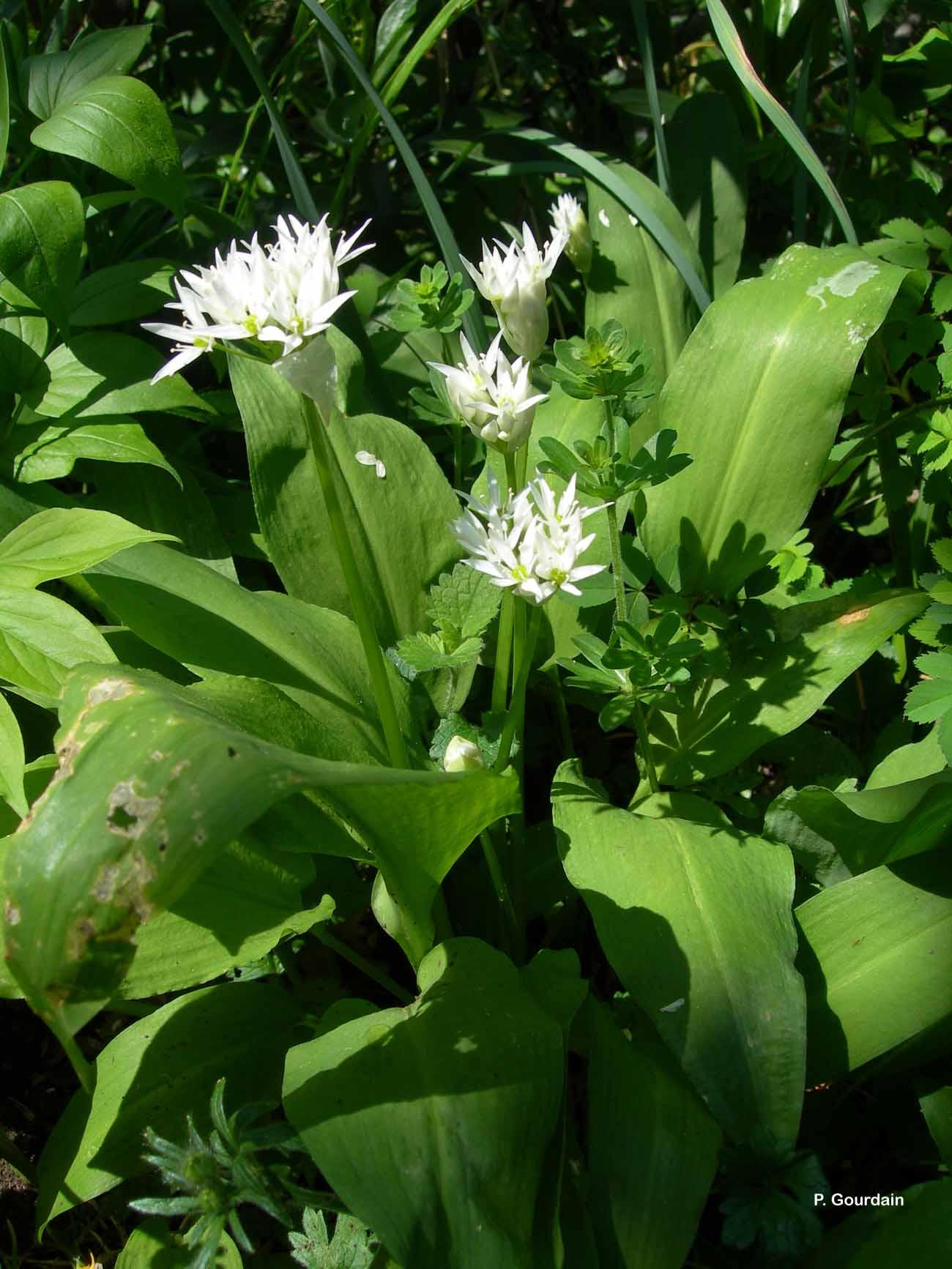 Allium ursinum L., 1753 © P. Gourdain