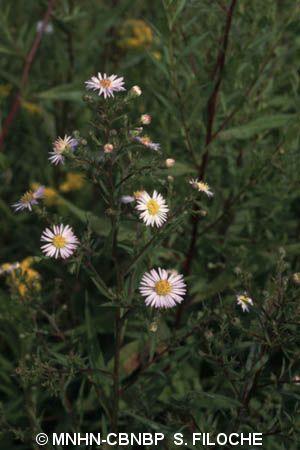 Symphyotrichum x salignum (Willd.) G.L.Nesom, 1995 © MNHN-CBNBP S. Filoche