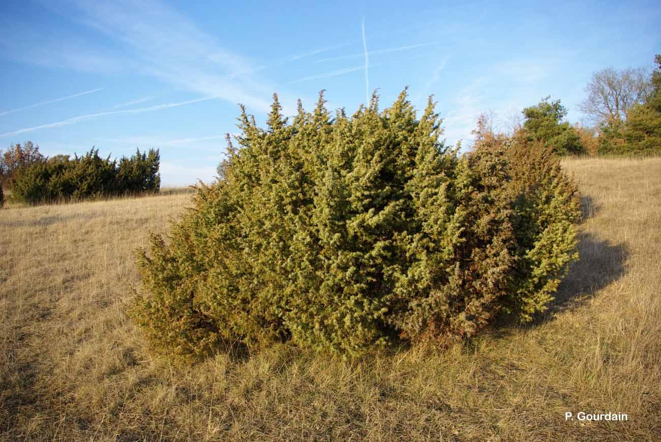 Juniperus communis L., 1753 © P. Gourdain