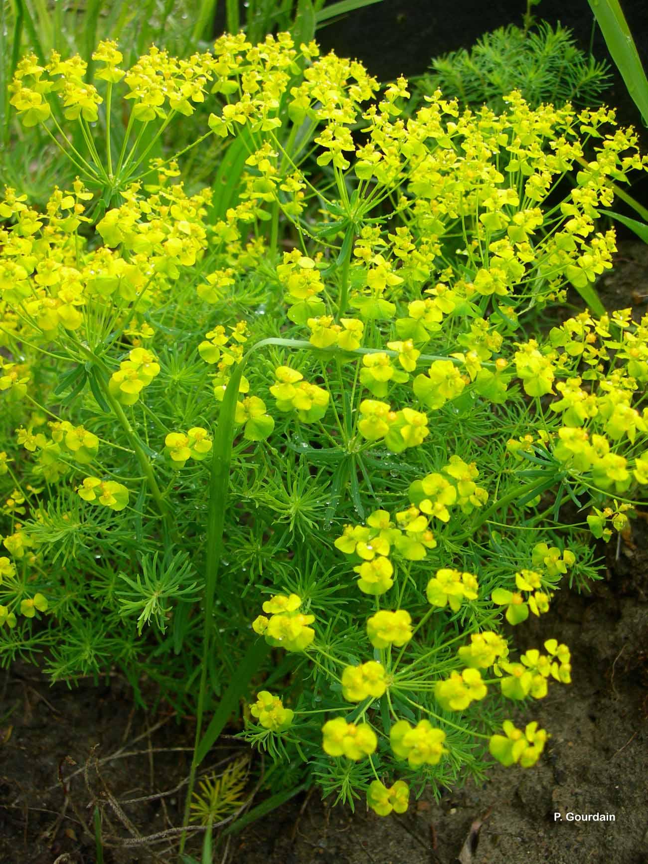 Euphorbia cyparissias L., 1753 © P. Gourdain