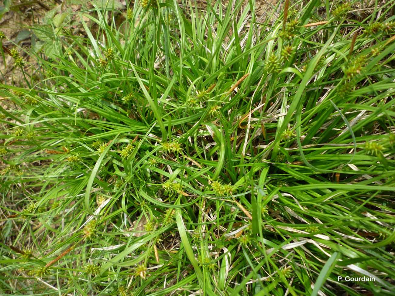 Carex demissa Vahl ex Hartm., 1808 © P. Gourdain