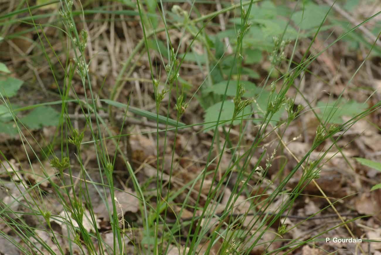 Juncus tenuis Willd., 1799 © P. Gourdain