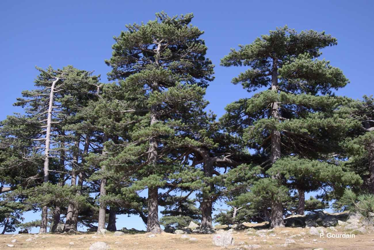 Pinus nigra subsp. laricio Maire, 1928 © P. Gourdain