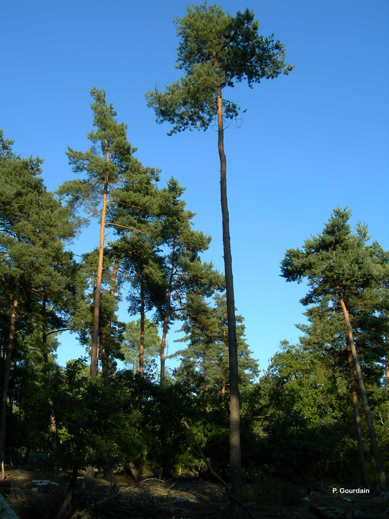 Pinus sylvestris L., 1753 © P. Gourdain