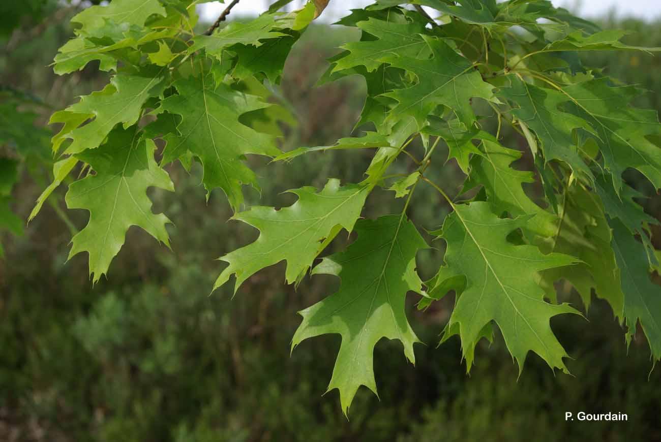 Quercus rubra L., 1753 © P. Gourdain
