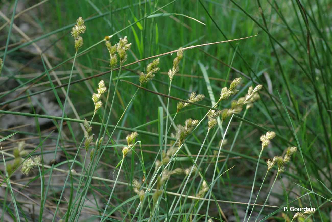 Carex leporina L., 1753 © P. Gourdain
