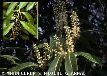 Prunus laurocerasus L., 1753 © MNHN-CBNBP S. Filoche