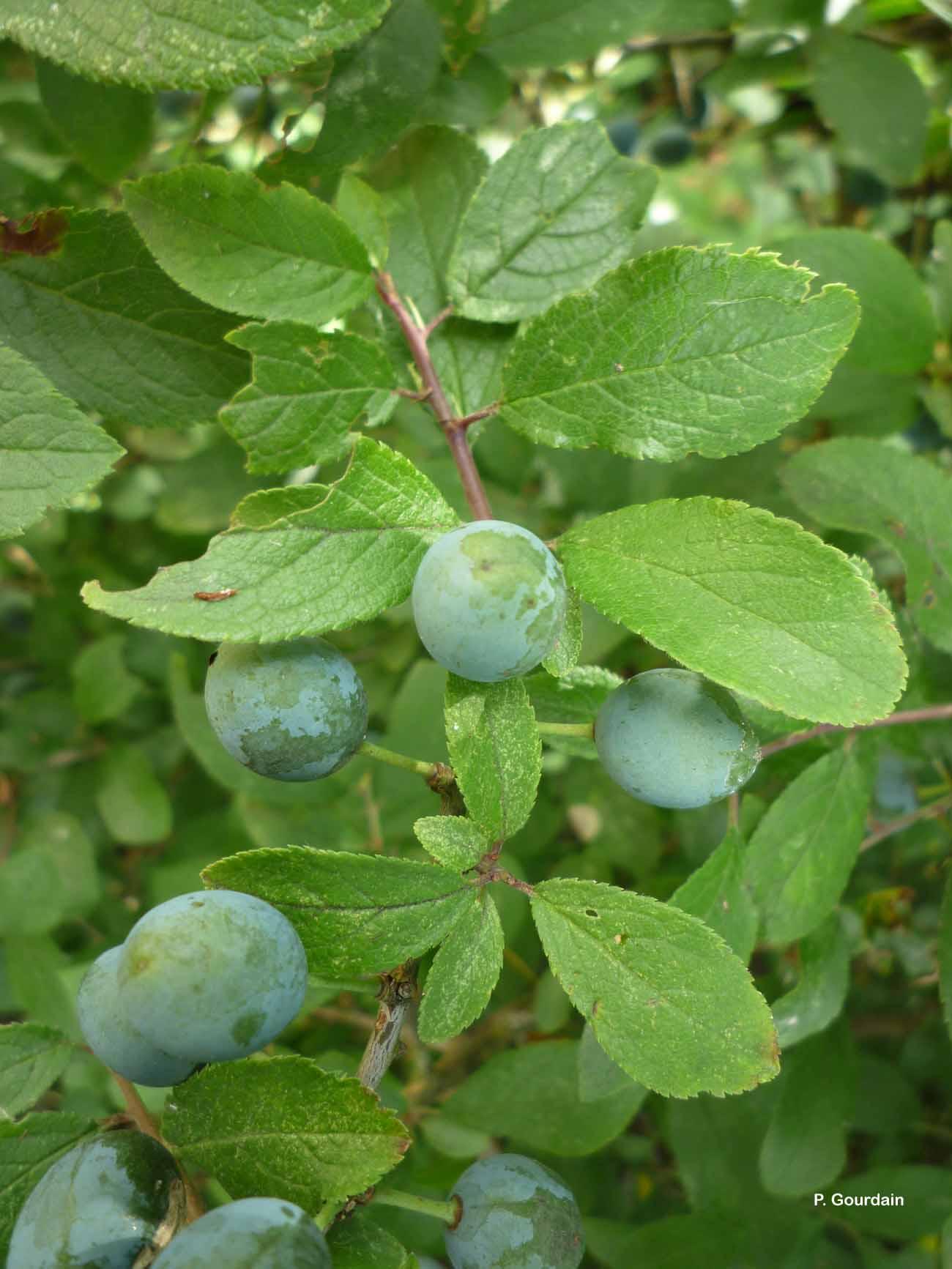 Prunus domestica L., 1753 © P. Gourdain