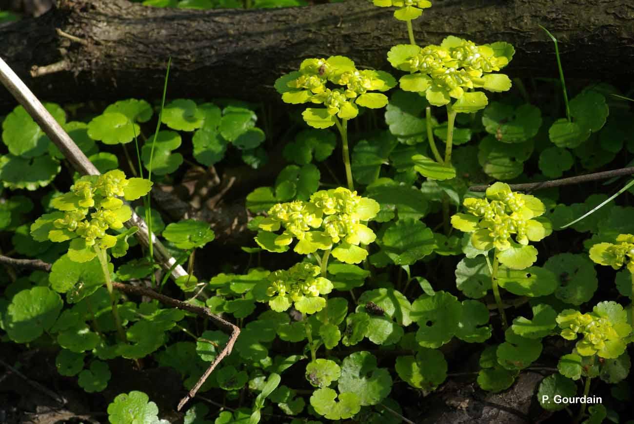 Chrysosplenium alternifolium L., 1753 © P. Gourdain