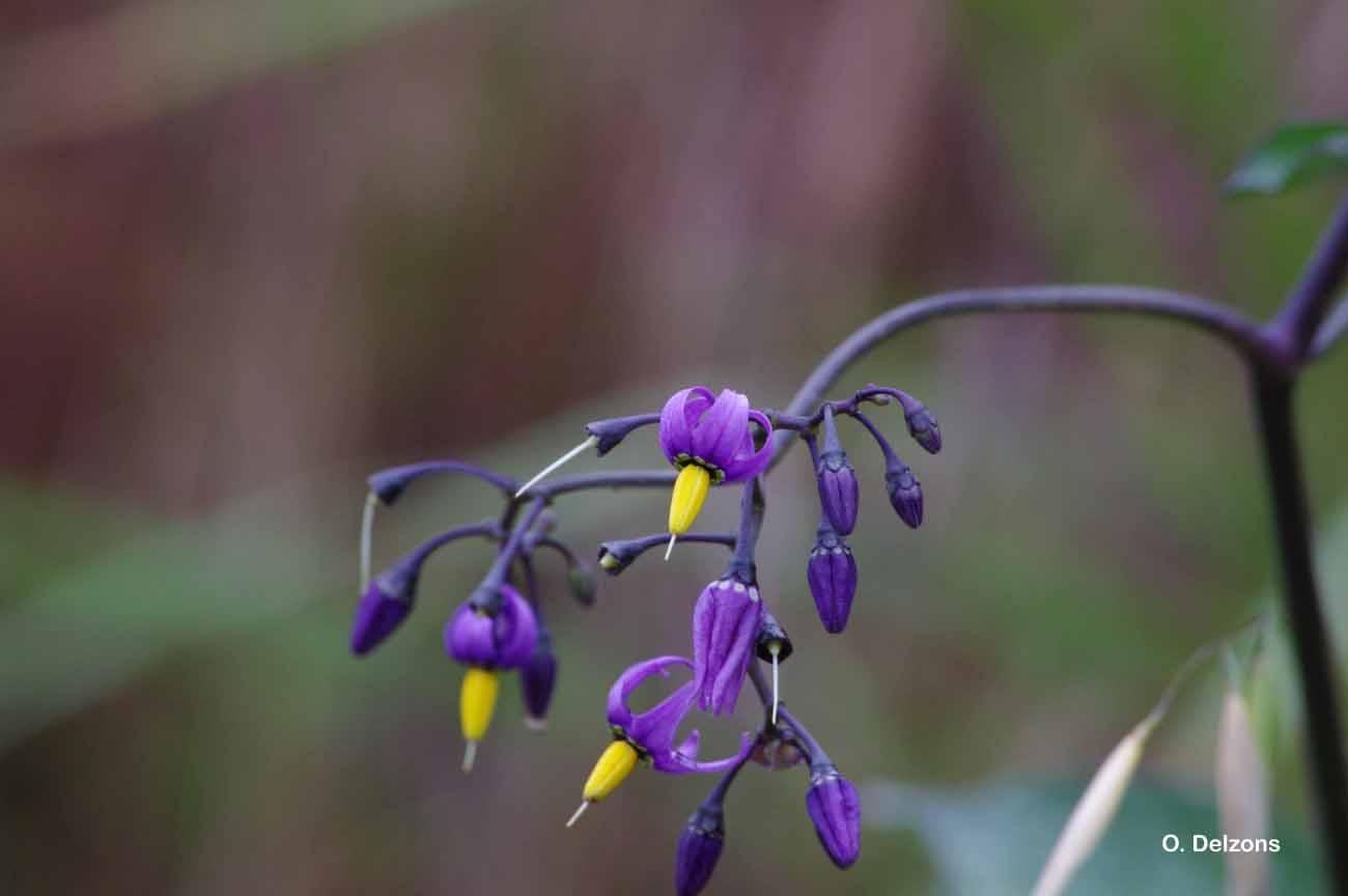 Solanum dulcamara L., 1753 © O. Delzons