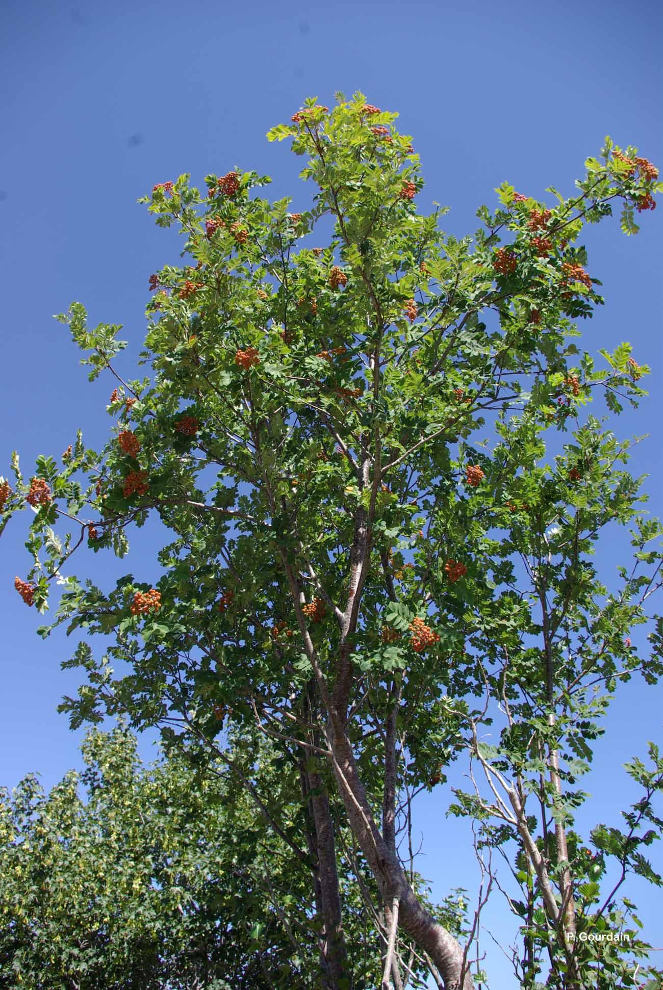 Sorbus aucuparia L., 1753 © P. Gourdain