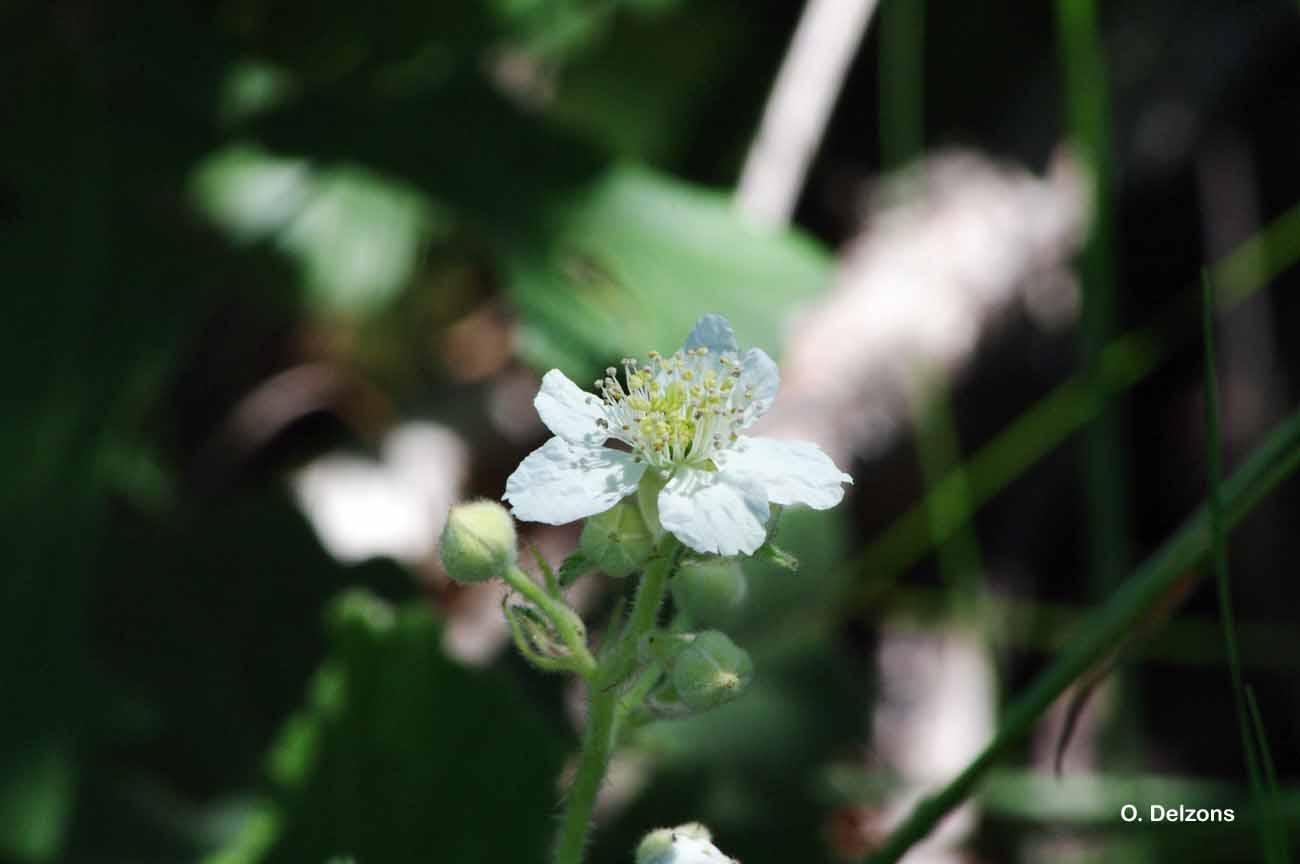 Rubus canescens DC., 1813 © O. Delzons